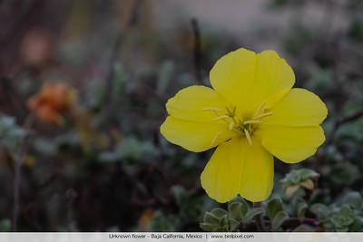 Unknown flower - Baja California, Mexico