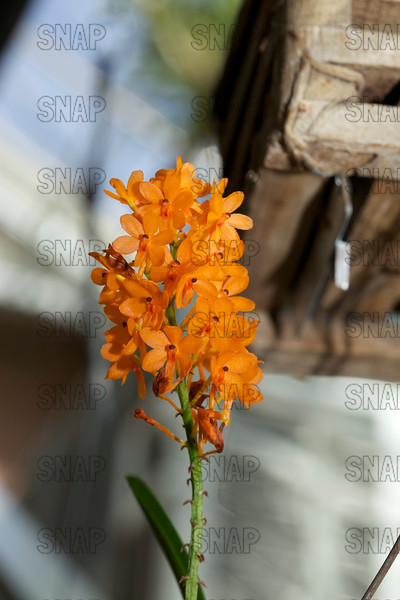 (Ascocentrum miniatum 'Kai Gold'), was on exhibit at the White River Gardens in Indianapolis, IN.  The orchids were part of the Wheeler Orchid Collection at Ball State University in Muncie, IN.