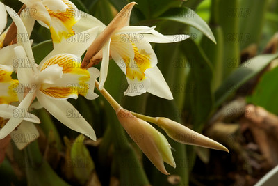 The Loose Coelogyne; Li Lin Bei Mu Lan (in Chinese); Necklace Orchids; Randig Drottningorkidé (Coelogyne flaccida), was on exhibit at the White River Gardens in Indianapolis, IN.  The orchids were part of the Wheeler Orchid Collection at Ball State University in Muncie, IN.