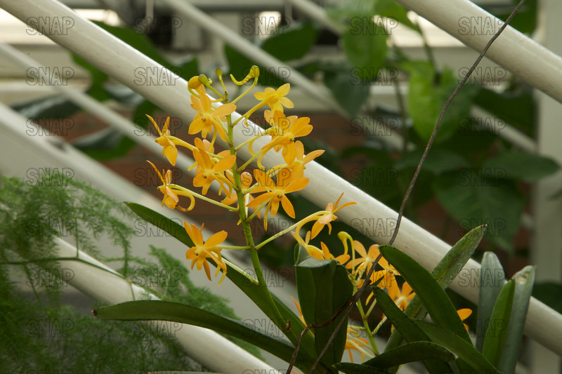 Ascf (Ascofinetia Twinkle), was on exhibit at the White River Gardens in Indianapolis, IN.  The orchids were part of the Wheeler Orchid Collection at Ball State University in Muncie, IN.