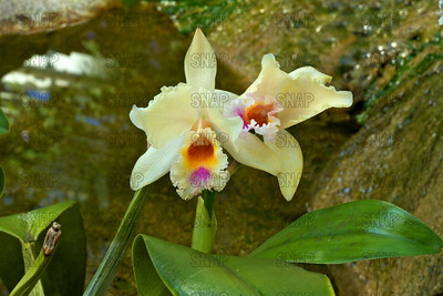 (Brassolaeliocattleya 'Yellow Pride'), was on exhibit at the White River Gardens in Indianapolis, IN.  The orchids were part of the Wheeler Orchid Collection at Ball State University in Muncie, IN.