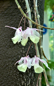 Hooded Dendrobium (Dendrobium cucullatum) - India, Thailand & Malaysia., was on exhibit at the White River Gardens in Indianapolis, IN.  The orchids were part of the Wheeler Orchid Collection at Ball State University in Muncie, IN.