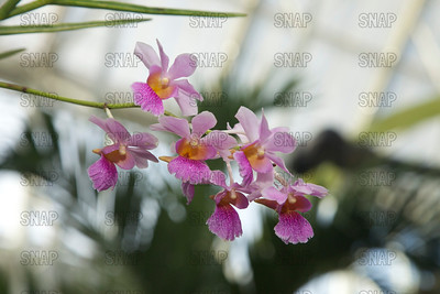 (Chrisanda Memoriam Anri Bracker), was on exhibit at the White River Gardens in Indianapolis, IN.  The orchids were part of the Wheeler Orchid Collection at Ball State University in Muncie, IN.