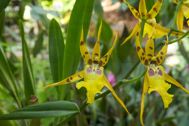 (Alicera Pacific Nova 'Butterbuds'), was on exhibit at the White River Gardens in Indianapolis, IN.  The orchids were part of the Wheeler Orchid Collection at Ball State University in Muncie, IN.