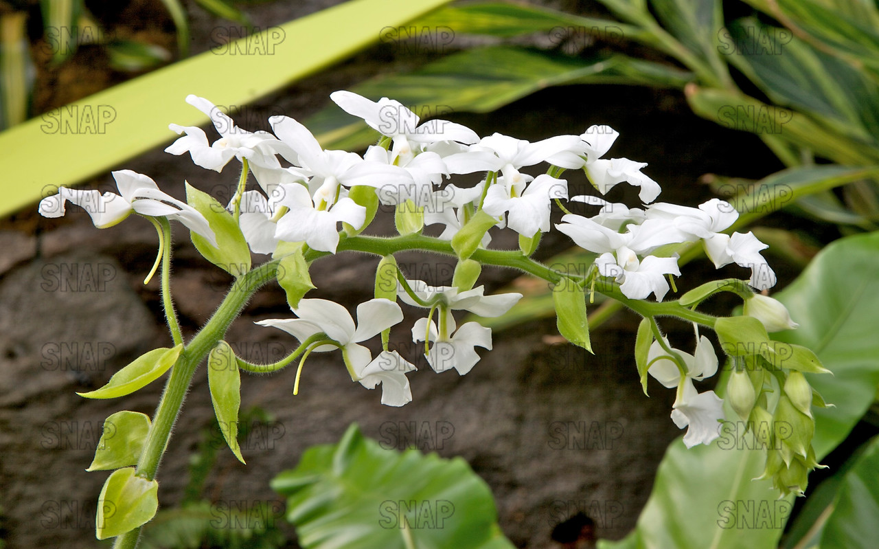 Snowstorm (Calanthe vestita var. alba 'Snowstorm') - Burma, Thailand to Borneo, was on exhibit at the White River Gardens in Indianapolis, IN.  The orchids were part of the Wheeler Orchid Collection at Ball State University in Muncie, IN.