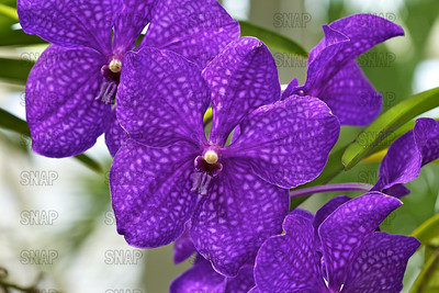 (Vanda Pachara Delight 'Sakate'), was on exhibit at the White River Gardens in Indianapolis, IN.  The orchids were part of the Wheeler Orchid Collection at Ball State University in Muncie, IN.