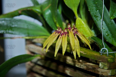 The Striking Bulbophyllum (Bulbophyllum picturatum (Cirrhopetalum picturatum)), was on exhibit at the White River Gardens in Indianapolis, IN.  The orchids were part of the Wheeler Orchid Collection at Ball State University in Muncie, IN.