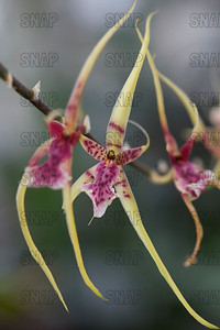Spider Orchid, or Warty Brassia (Brassia vervucosoa), was on exhibit at the White River Gardens in Indianapolis, IN.  The orchids were part of the Wheeler Orchid Collection at Ball State University in Muncie, IN.