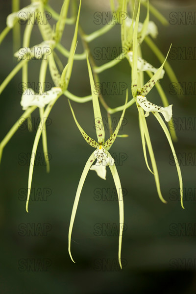 (Brassia sp.), was on exhibit at the White River Gardens in Indianapolis, IN.  The orchids were part of the Wheeler Orchid Collection at Ball State University in Muncie, IN.
