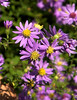 Aster (Aster sp.), in Brown County State Park, Nashville, IN.
