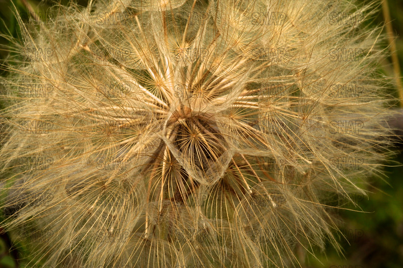 Yellow Salsify Seed Head