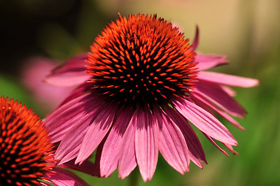 Purple Coneflower (Echinacea).