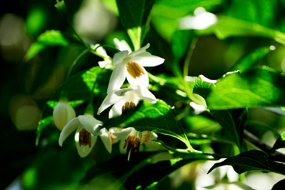 Japanese Snowbell (Styrax Japonicus).