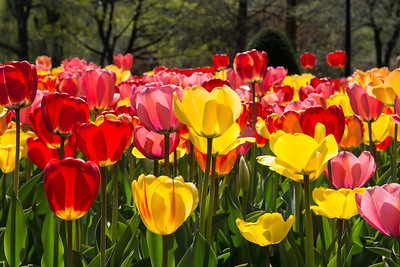 Tulips on the Boston Common.