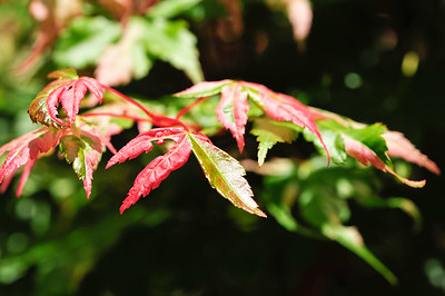 Harriet Waldman Japanese Maple.