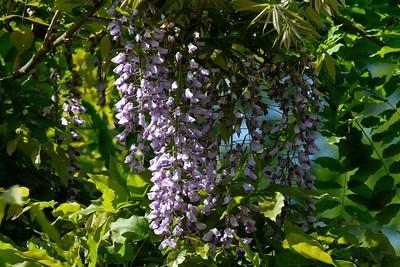 Wisteria sinensis, Chinese wisteria.