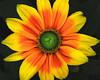 Rudbeckia hirta; Gloriosa daisy