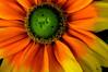 Rudbeckia hirta, Gloriosa daisy