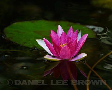 WATER_LILY_SAC_CO_CA_2016-07-19_D02_2500_6030