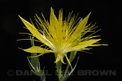 Blazing Star, Alpine Co, CA, 8-3-10. Full frame image.