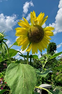A giant Sunflower.