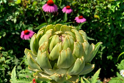 An ornamental artichoke.