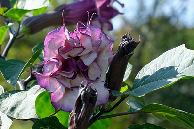 Purple Moonflower or Angel's Trumpet - Datura Metel.