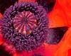 Poppy carpel