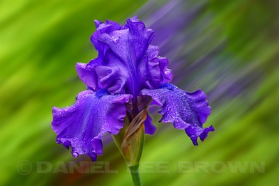 Bearded Iris in the rain. The background is an in-camera blur of the Iris that was added to a sharp capture. Full frame image.