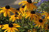 Rudbeckia with Spirea in the background