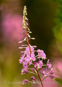 Fireweed, Placer County, CA, 7-27-14. Cropped image.
