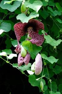 Aristolochia gigantea.
