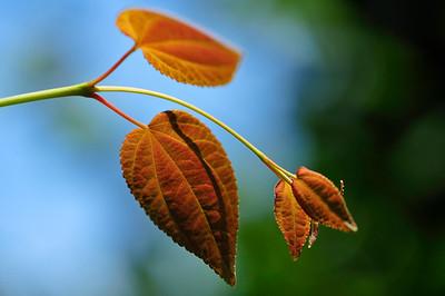 Katsura (Cercidiphyllum).