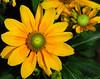 Rudbeckia hirta (Gloriosa daisy)