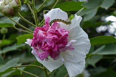 Confederate Rose, Sui-fuyo - Hibiscus mutabilis.