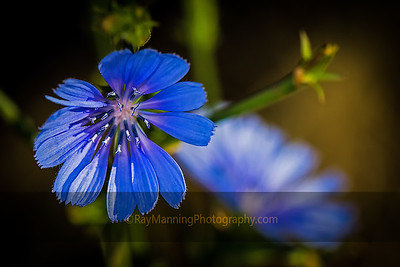 While Chicory