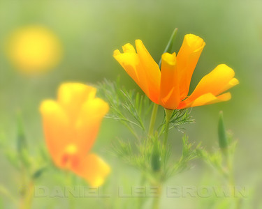Wilting California Poppies, Mather Regional Park, Sacramento, County, CA, 4-3-14. Cropped image.