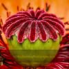 Poppy Ovary