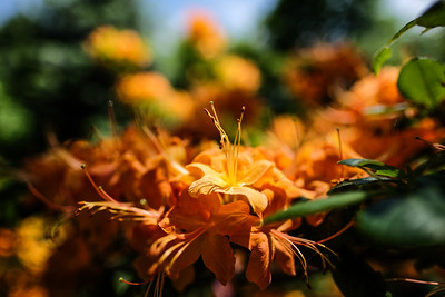 Bright orange (Exbury) Azalea.