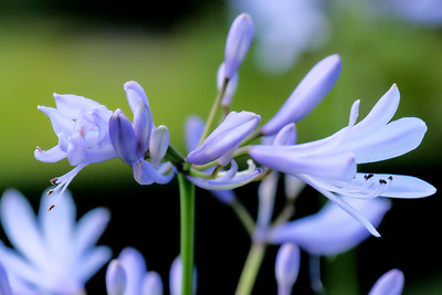 Agapanthus Praecox (Blue Lily).