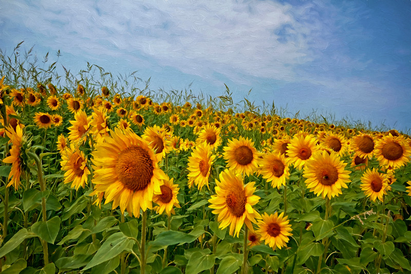 Sunflowers (smiling faces) photo by Jerry Dalrymple