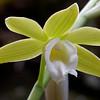Phaius australis var. bernaysii