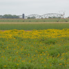 Maximilian sunflowers ablaze with yellow beauty in a seed plot at NRCS PMC.