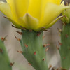 Cactus flowers on prickly pear cactus at Stasney's Cook Ranch in Albany, Texas.