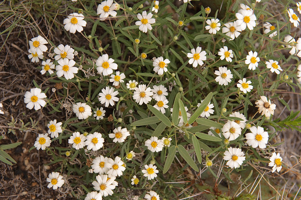 Rock daisies are a mainstay around prickly pear at Stasney's Cook Ranch in Albany, TX.