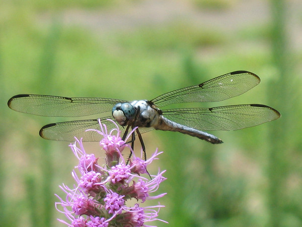 A dragonfly resting on gayfeather plant.
