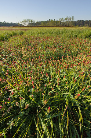 Crimson clover at the East Texas Plant Material Center.