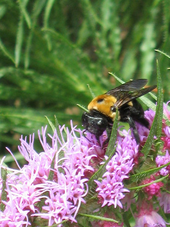 A bee pollinating gayfeather blooms.