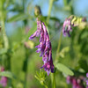 Hairy vetch.