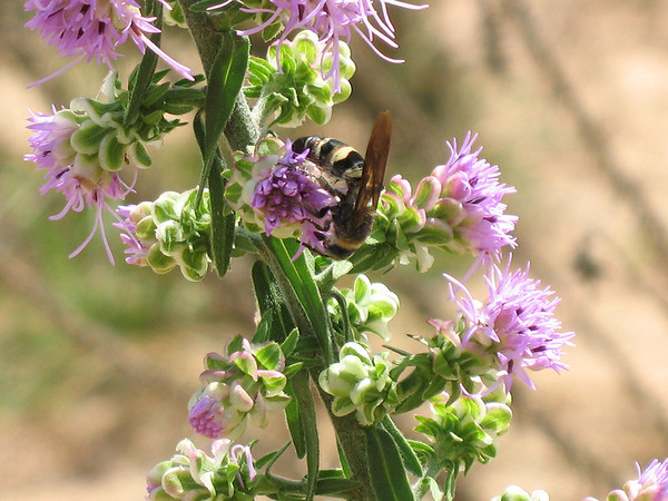 A bald faced hornet working in the Liatris planting at the East Texas PMC